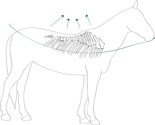 Pferd durchgedrückter Rücken