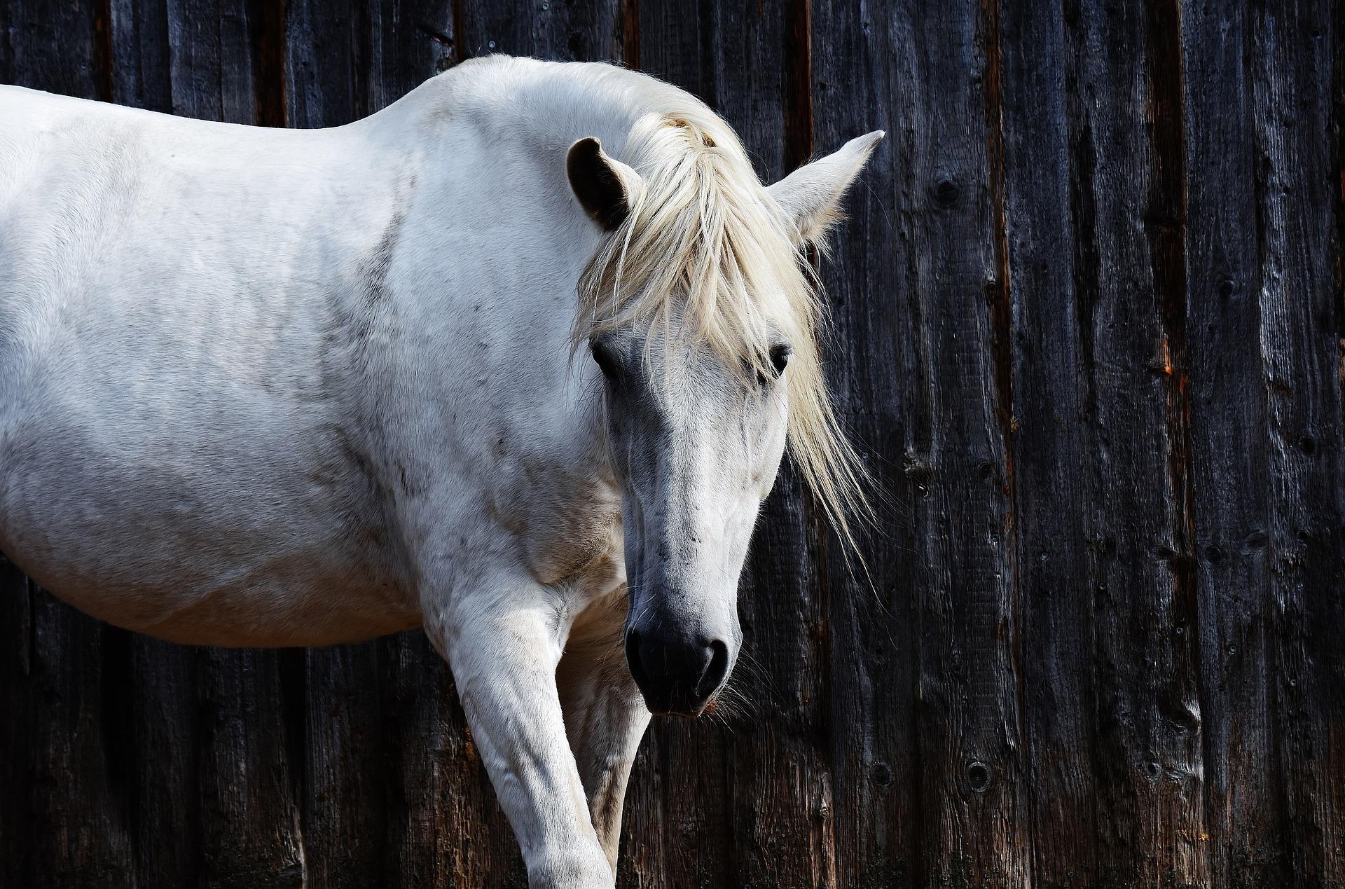 Pferd TCM