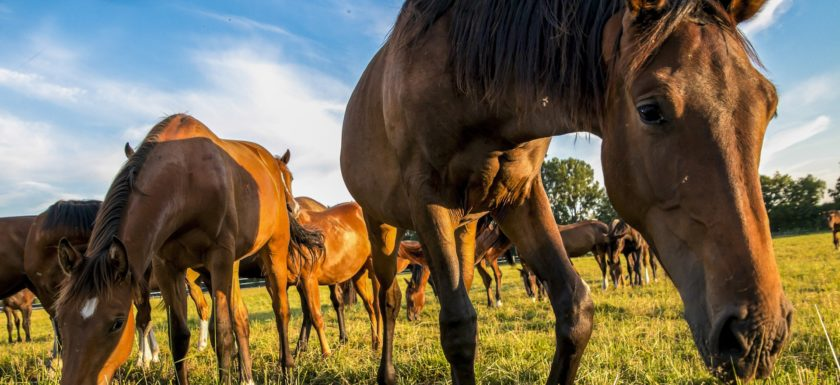 Lungentyp TCM Pferd