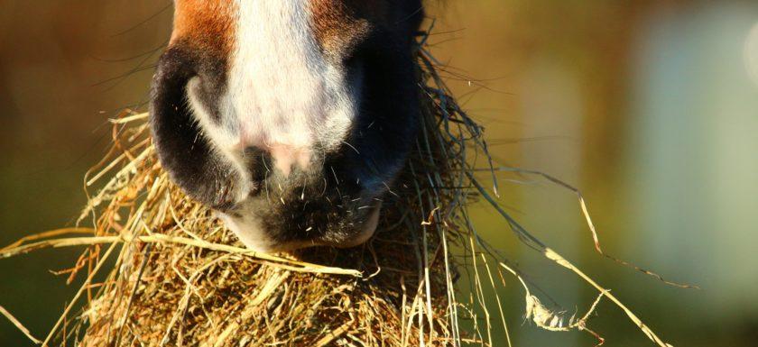 Pferd Atemwegserkrankung Heu Bedampfen