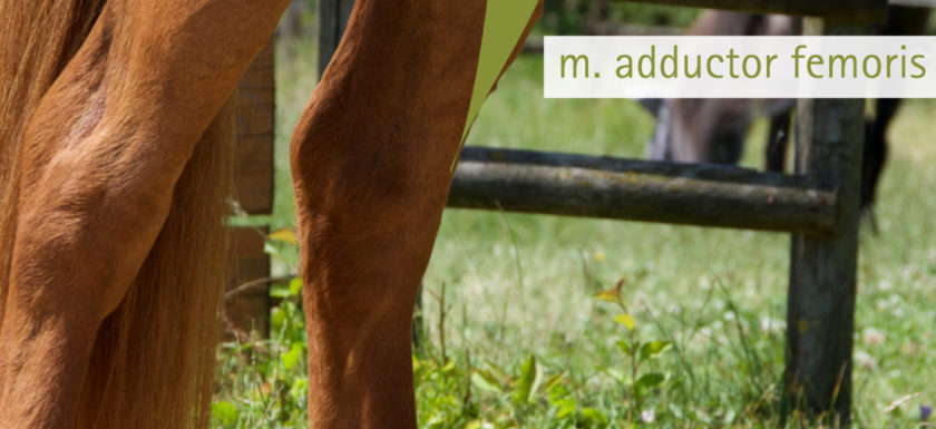 Adduktoren Pferd Pferdephysiotherapie Düren