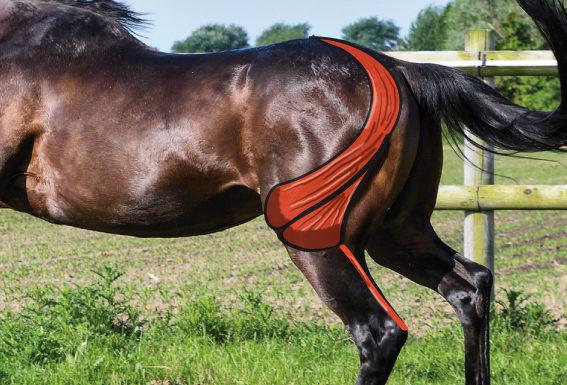Oberschenkelmuskel Pferd M. biceps femoris